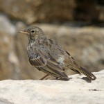 Rock Pipit Lossiemouth 25 June 2014 Gordon Biggs