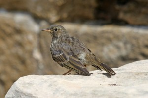 Rock Pipit, Lossiemouth 25 June 2014 (Gordon Biggs)