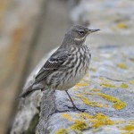 Rock Pipit, Lossiemouth 6 Feb 2015 (Gordon Biggs)