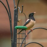 Rose coloured Starling Hopeman 29 Jun 2014 David Main 1
