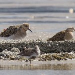 Ruff Findhorn Bay 13 Aug 2016 Richard Somers Cocks 2