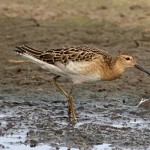 Ruff Wester Delnies 28 Sept 2014 Gordon Biggs 1