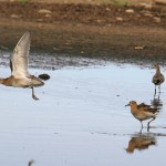 Ruff Wester Delnies 28 Sept 2014 Gordon Biggs 2