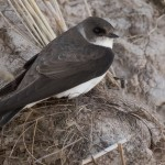 Sand Martin, Nairn 24 Apr 2015 (Mike Crutch)