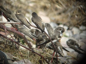 Sand Martin, Spey estuary 21 July 2014 (Martin Cook) (1) Paint