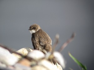 Sand Martin, Spey estuary 21 July 2014 (Martin Cook) (2) Paint