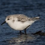 Sanderling Covesea 22 Dec 2016 David Main 2P