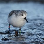 Sanderling Covesea 22 Dec 2016 David Main 3