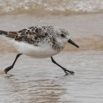 Sanderling Covesea 29 Apr 2017 Mike Crutch P