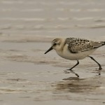 Sanderling, Lossie estuary 15 Aug 2014 (David Main)