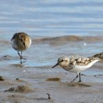 Sanderling Lossie estuary 16 Aug 2017 Gordon Biggs 2