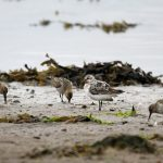 Sanderling Lossie estuary 26 Aug 2017 Gordon Biggs