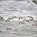 Sanderling Lossiemouth Oct 2012 Gordon Biggs 3