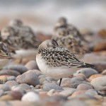 Sanderling Lossiemouth east beach 13 Aug 2013 Margaret Sharpe