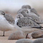 Sanderling Lossiemouth east beach 25 Feb 2016 Margaret Sharpe P