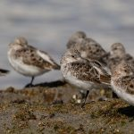 Sanderling Lossiemouth west beach 27 Apr 2018 David Main 3