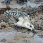 Sanderling Strathlene 3 Sep 2017 Hugh Clark