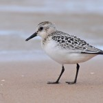 Sanderling juv Lossiemouth east beach 10 Aug 2013 Margaret Sharpe