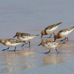 Sanderlings Lossie east beach 20 July 2013 Richard Somers Cocks