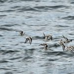 Sanderlings Lossiemouth 23 Oct 2017 Gordon Biggs