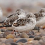 Sanderlings Lossiemouth east beach 24 Apr 2014 Margaret Sharpe