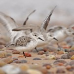 Sanderlings Lossiemouth east beach Margaret Sharpe