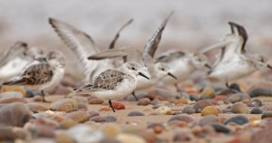 Sanderlings, Lossiemouth east beach 24 Apr 2014 (Margaret Sharpe)