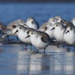 Sanderlings Lossiemouth west beach 14 Feb 2017 Margaret Sharpe P