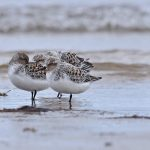 Sanderlings Lossiemouth west beach 23 May 2017 Margaret Sharpe 1P