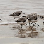 Sanderlings Lossiemouth west beach 25 Jan David Main