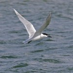 Sandwich Tern Lossie estuary 14 Apr 2013 Tony Backx 2