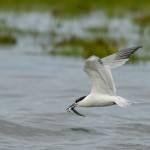 Sandwich Tern Lossie estuary 15 July 2014 David Main 1