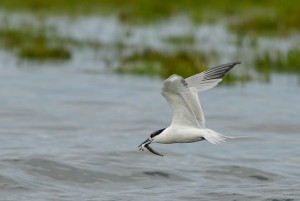 Sandwich Tern, Lossie estuary 15 July 2014 (David Main) 1