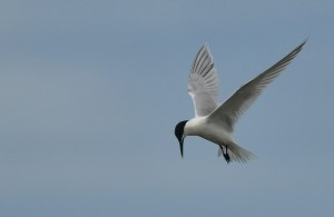 Sandwich Tern, Lossie estuary 15 July 2014 (David Main) 2