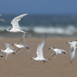 Sandwich Terns Findhorn 2 Sept 2013 RSCocks