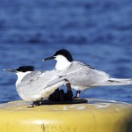 Sandwich Terns Findhorn 9 May 2013 Richard Somers Cocks 2