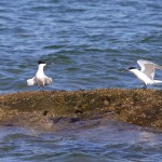 Sandwich Terns Findhorn Bay 8 Apr 2015 Richard Somers Cocks