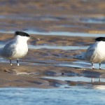 Sandwich Terns Findhorn beach 11 Apr 2016 Richard Somers Cocks