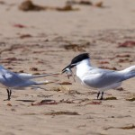 Sandwich Terns Findhorn beach 3 May 2016 Richard Somers Cocks P