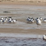 Sandwich Terns Lossie estuary 17 Apr 2016 David Main