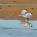 Sandwich Terns Lossie estuary 21 July 2014 David Main