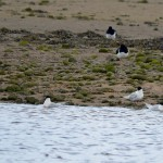 Sandwich Terns Lossie estuary 6 Apr 2014 Gordon Biggs