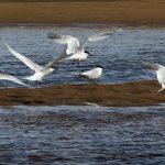 Sandwich Terns Lossie estuary 7 May 2018 Jim Simpson 2