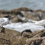 Sandwich Terns, Lossiemouth 12 Apr 2016 (David Main)