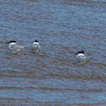 Sandwich Terns Nairn 3 Apr 2013 Seamus McArdle
