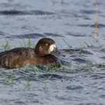 Scaup Kingston 26 Oct 2014 David Devonport