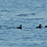 Scaup Loch Spynie 6 Jan 2017 Martin Cook P