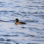 Scaup Loch Spynie 8 January 2014 Gordon Biggs