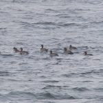 Scaup off Findhorn 2 Nov 2016 Richard Somers Cocks