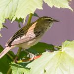 Sedge Warbler Kinloss 14 May 2018 Mike Crutch